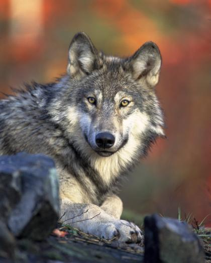 Closeup photo of a gray wolf crouched on the ground looking straight into the camera with golden eyes