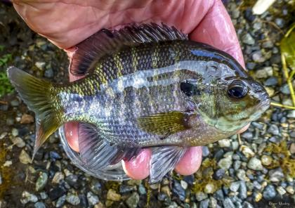 Small bluegill in the palm of a fisherman's hand