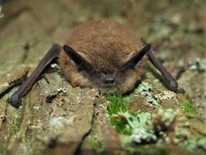 A Little Brown Bat Clings To The Bark Of Mossy Tree