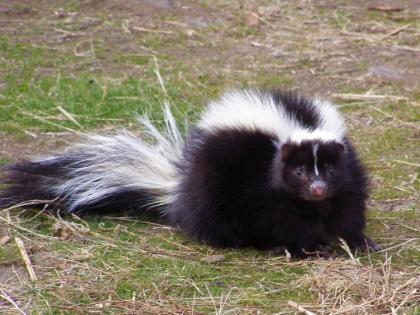 living with wildlife skunks washington department of fish \u0026 wildlife  a skunk hunkers down in grassy turf