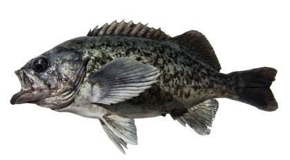 Blue rockfish | Washington Department of Fish & Wildlife