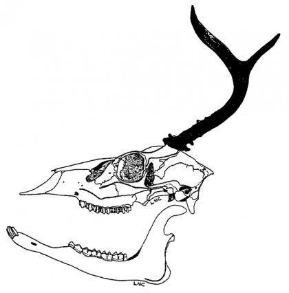 A drawing of the left side of a deer skull with antlers.
