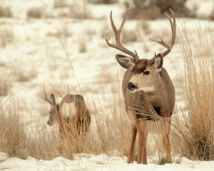 A pair of deer stand alert in a snowy field.