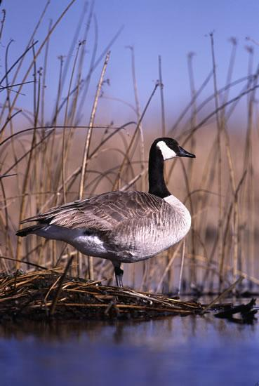 Canada goose with black head and white markings standing in a like with dry marsh grass in the background