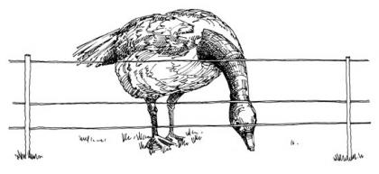 Drawing of a goose bending its neck over an electric fence