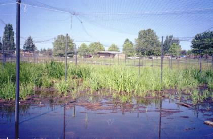 Photo of aquatic plants with netting covering the area to protect them from geese