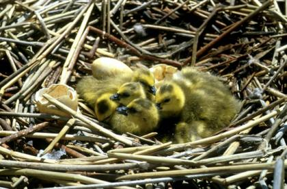 Goose nest with newly hatched chicks. Chicks have yellow and black plumage.