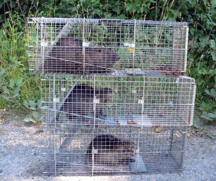Three nturia sit in traps stacked ontop one another.