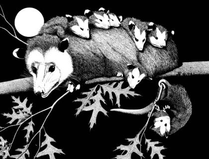 A drawing shows an adult opossum with pups on their back.