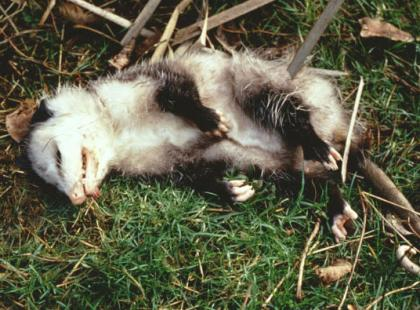 A opossum plays dead to aviod harassment or predation.