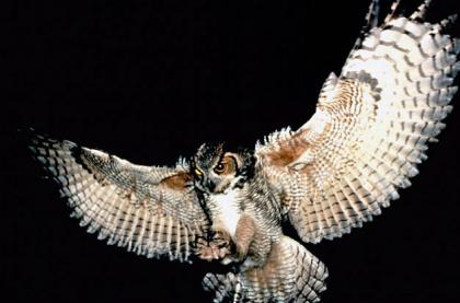 A great honred owl swoops in at night.