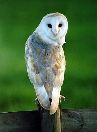 A barn owl turns its head 180 degrees.