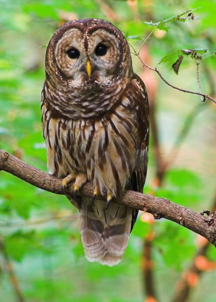 A barred owl perches on a thin branch.