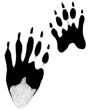 A drawing depicts the front and hind paw print of a raccoon.