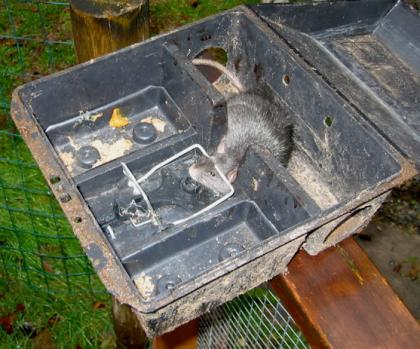 A rat is shown caught in a lethal trap box.