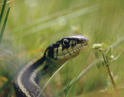 Living With Wildlife Snakes Washington Department Of Fish Wildlife