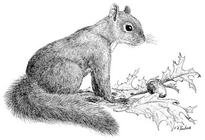 A drawing of the introduced eastern gray squirrel.
