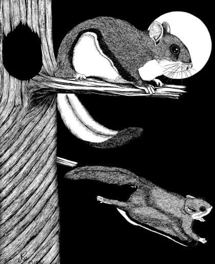 A drawing depicts the northern flying squirrel perched and gliding.