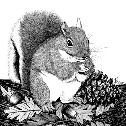 A drawing of a Douglas squirrel.