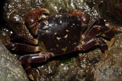 Photo of a small dark brown/purple crab on tidal rocks