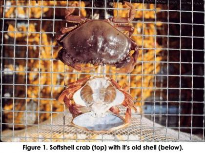 Softshell crab on a wire mesh with its molted old shell next to it.