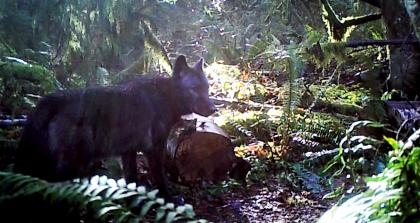 Wildlife cam photo of a dark gray / black wolf walking in the forest.