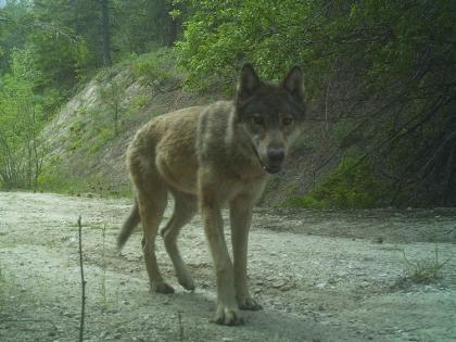 Wolf seen head-on walking towards the camera