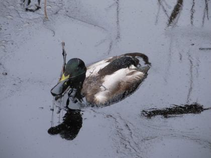 Duck covered in oil from spill