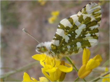 Island Marble Butterfly on a tumble mustard plant