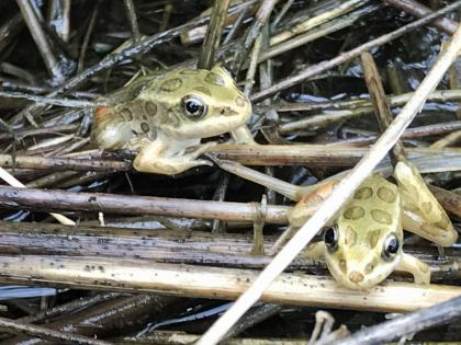 Two Northern Leopard Froglets just after release