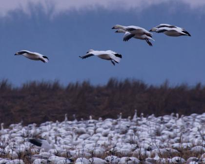 A flock of snow geese come in for a landing in a farm field