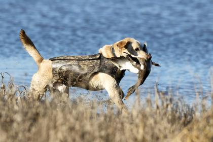 Hunting retriever carries back a duck in its mouth