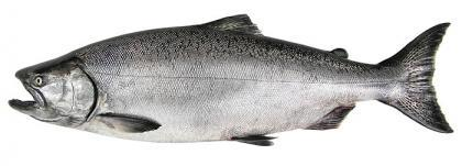 High definition photo of a Chinook salmon