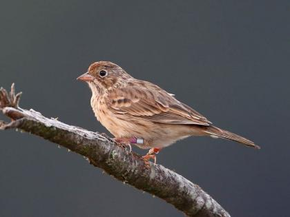 Banded Oregon Vesper Sparrow