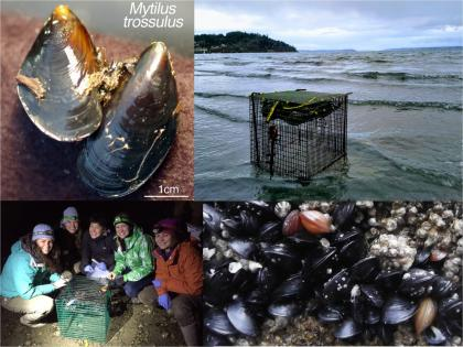 Collage of mussels and mussel collection