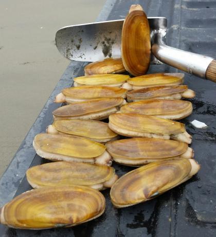 razor clam limit