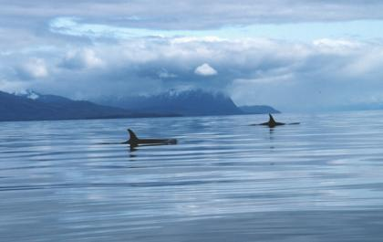An expanse of water with two killer whale dorsal fins visible and, in the background, rugged coastline and cloudy skies