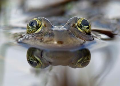 Closeup of an Oregon spotted frog peering just above the water's surface