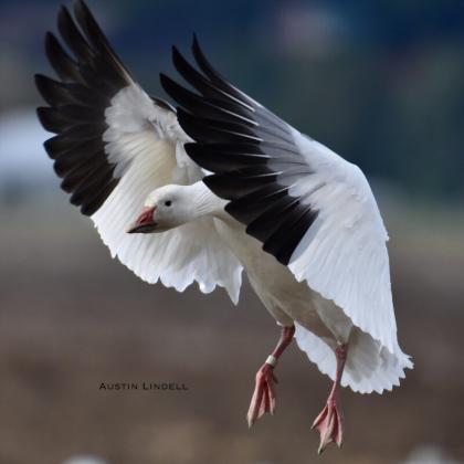 Snow goose landing in field with wings forward