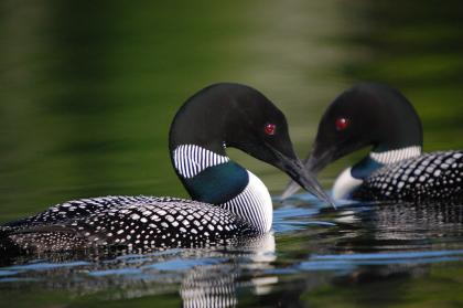 Close up of a  pair male and female loons in breeding plumage facing each other on the water
