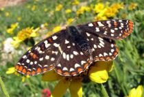 Large brown butterfly with orange and white spots sitting on a yellow flower