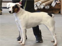 White dog with brown and black splotches on a leash