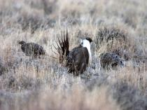 Male and female greater sage-grouse