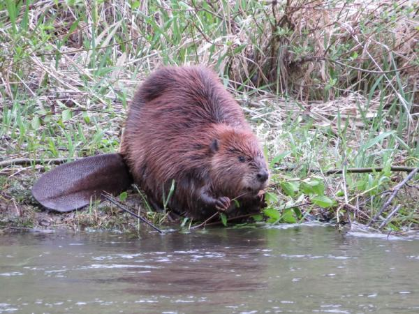 Beaver stands next to water body
