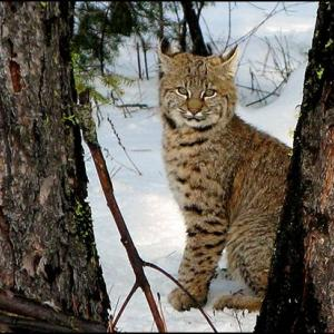Bobcat sitting in the snow between two tree trunks