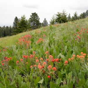 Indian paintbrush blooming in a meadow