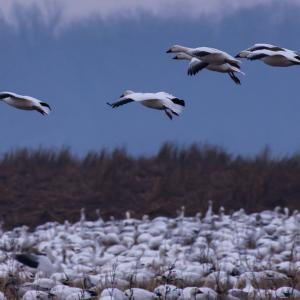 Snow geese fly in for a landing in a field