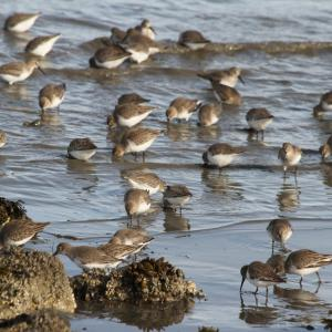Dunlins forage for food along the shore