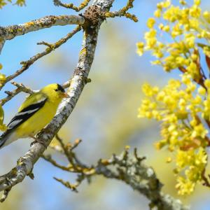 Spring Goldfinch pictured in Tacoma