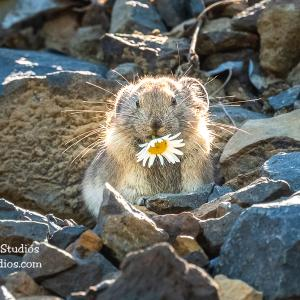 American pika sitting on rocks eating a flower